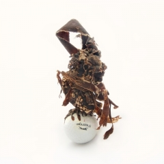 Kelp with a golf ball as its anchor rock