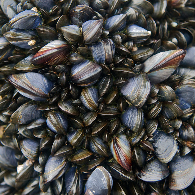 Mussel Beds 1